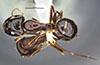 http://mczbase.mcz.harvard.edu/specimen_images/entomology/large/MCZ-ENT00036103_Camponotus_navigator_had.jpg
