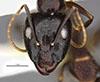 http://mczbase.mcz.harvard.edu/specimen_images/entomology/large/MCZ-ENT00036103_Camponotus_navigator_hef.jpg