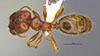 Media of type image, MCZ:Ent:36160 Identified as Pheidole cahui type status Holotype of Pheidole cahui. . Aspect: habitus dorsal view