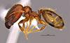 Media of type image, MCZ:Ent:36160 Identified as Pheidole cahui type status Holotype of Pheidole cahui. . Aspect: habitus lateral view