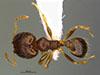 Media of type image, MCZ:Ent:36163 Identified as Pheidole depressinoda type status Holotype of Pheidole depressinoda. . Aspect: habitus dorsal view