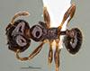 Media of type image, MCZ:Ent:36165 Identified as Pheidole huarache type status Holotype of Pheidole huarache. . Aspect: habitus dorsal view