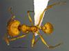 Media of type image, MCZ:Ent:36167 Identified as Pheidole luteagossamer type status Holotype of Pheidole luteagossamer. . Aspect: habitus dorsal view