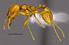 Media of type image, MCZ:Ent:36167 Identified as Pheidole luteagossamer type status Holotype of Pheidole luteagossamer. . Aspect: habitus lateral view