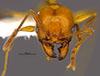 Media of type image, MCZ:Ent:36167 Identified as Pheidole luteagossamer type status Holotype of Pheidole luteagossamer. . Aspect: head frontal view