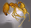 Media of type image, MCZ:Ent:36168 Identified as Pheidole machaquila type status Holotype of Pheidole machaquila. . Aspect: habitus lateral view