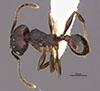 Media of type image, MCZ:Ent:36169 Identified as Pheidole marmor type status Holotype of Pheidole marmor. . Aspect: habitus dorsal view