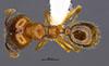Media of type image, MCZ:Ent:36173 Identified as Pheidole nephele type status Holotype of Pheidole nephele. . Aspect: habitus dorsal view