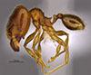 Media of type image, MCZ:Ent:36173 Identified as Pheidole nephele type status Holotype of Pheidole nephele. . Aspect: habitus lateral view