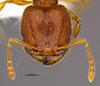 Media of type image, MCZ:Ent:36174 Identified as Pheidole perissothrix type status Holotype of Pheidole perissothrix. . Aspect: head frontal view