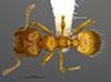 Media of type image, MCZ:Ent:36176 Identified as Pheidole tikal type status Holotype of Pheidole tikal. . Aspect: habitus dorsal view