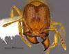 Media of type image, MCZ:Ent:36176 Identified as Pheidole tikal type status Holotype of Pheidole tikal. . Aspect: head frontal view