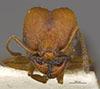 Media of type image, MCZ:Ent:534481 Identified as Pheidole sciara type status Paratype of Pheidole sciara. . Aspect: head frontal view