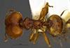 Media of type image, MCZ:Ent:534628 Identified as Pheidole senex type status Paratype of Pheidole senex. . Aspect: habitus dorsal view