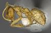 http://mczbase.mcz.harvard.edu/specimen_images/entomology/large/MCZ-ENT00565101_Paratrechina_hystrix_hal.jpg
