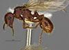 http://mczbase.mcz.harvard.edu/specimen_images/entomology/large/MCZ-ENT00566601_Pogonomyrmex_colei_hal.jpg