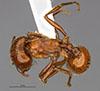 http://mczbase.mcz.harvard.edu/specimen_images/entomology/large/MCZ-ENT00566607_Pogonomyrmex_texanus_had.jpg