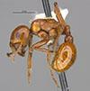 http://mczbase.mcz.harvard.edu/specimen_images/entomology/large/MCZ-ENT00566607_Pogonomyrmex_texanus_hal.jpg