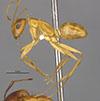 http://mczbase.mcz.harvard.edu/specimen_images/entomology/large/MCZ-ENT00568522_Camponotus_microps_hal.jpg