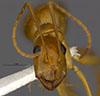 http://mczbase.mcz.harvard.edu/specimen_images/entomology/large/MCZ-ENT00568522_Camponotus_microps_hef.jpg
