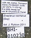 Media of type image, MCZ:Ent:612603 Identified as Enoclerus rosmarus. . Aspect: habitus dorsal view