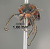 Media of type image, MCZ:Ent:612660 Identified as Collops nigriceps. . Aspect: head frontal view
