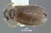 Media of type image, MCZ:Ent:613349 Identified as Cnopus impressus. . Aspect: habitus dorsal view