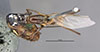 http://mczbase.mcz.harvard.edu/specimen_images/entomology/large/MCZ-ENT00649870_Camponotus_mirabilis_had.jpg