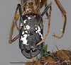 http://mczbase.mcz.harvard.edu/specimen_images/entomology/large/MCZ-ENT00649870_Camponotus_mirabilis_hef.jpg