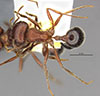 http://mczbase.mcz.harvard.edu/specimen_images/entomology/large/MCZ-ENT00673658_Pogonomyrmex_bicolor_had.jpg