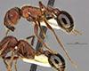 http://mczbase.mcz.harvard.edu/specimen_images/entomology/large/MCZ-ENT00673658_Pogonomyrmex_bicolor_hal.jpg