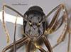 http://mczbase.mcz.harvard.edu/specimen_images/entomology/large/MCZ-ENT00710233_Camponotus_polymorphicus_hef.jpg