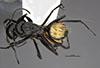http://mczbase.mcz.harvard.edu/specimen_images/entomology/large/MCZ-ENT00710235_Camponotus_posteropilus_had.jpg