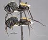 http://mczbase.mcz.harvard.edu/specimen_images/entomology/large/MCZ-ENT00710235_Camponotus_posteropilus_hal.jpg
