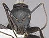 http://mczbase.mcz.harvard.edu/specimen_images/entomology/large/MCZ-ENT00710235_Camponotus_posteropilus_hef.jpg
