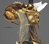 http://mczbase.mcz.harvard.edu/specimen_images/entomology/large/MCZ-ENT00712534_Camponotus_reburrus_hal.jpg