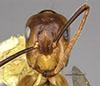 http://mczbase.mcz.harvard.edu/specimen_images/entomology/large/MCZ-ENT00712534_Camponotus_reburrus_hef.jpg