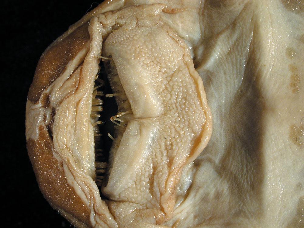 Media of type image, MCZ:Ich:29051 Identified as Hemiancistrus longipinnis type status Holotype of Hemiancistrus longipinnis| Voucher of Baryancistrus longipinnis.