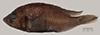 http://mczbase.mcz.harvard.edu/specimen_images/fish/large/100098_Astatotilapia_nubila.jpg
