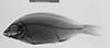 http://mczbase.mcz.harvard.edu/specimen_images/fish/large/131954_Nyassachromis_leuciscus_x.jpg