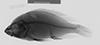 http://mczbase.mcz.harvard.edu/specimen_images/fish/large/137961_Paralabidochromis_black_x.jpg