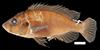 http://mczbase.mcz.harvard.edu/specimen_images/fish/large/141325_Gaurochromis_simpsoni_b.jpg