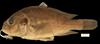http://mczbase.mcz.harvard.edu/specimen_images/fish/large/148159_Labrochromis_mylodon.jpg
