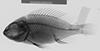 http://mczbase.mcz.harvard.edu/specimen_images/fish/large/148214_Neochromis_fuscus_x.jpg