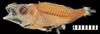 http://mczbase.mcz.harvard.edu/specimen_images/fish/large/149633_Microichthys_coccoi.jpg
