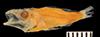http://mczbase.mcz.harvard.edu/specimen_images/fish/large/149634_Microichthys_coccoi.jpg
