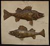 http://mczbase.mcz.harvard.edu/specimen_images/fish/large/154771_154772_Morone_Perca_2016.jpg