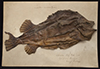 http://mczbase.mcz.harvard.edu/specimen_images/fish/large/154782_Cyclopterus_lumpus.jpg