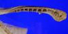 http://mczbase.mcz.harvard.edu/specimen_images/fish/large/160673_Mitsukurina_owstoni_U_Jaw_full.jpg