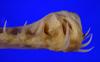 http://mczbase.mcz.harvard.edu/specimen_images/fish/large/160673_Mitsukurina_owstoni_lower_jaw_anterior.jpg